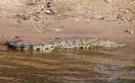 http://hanicka.mysak.cz/afrika/fotky/krokodyl.jpg